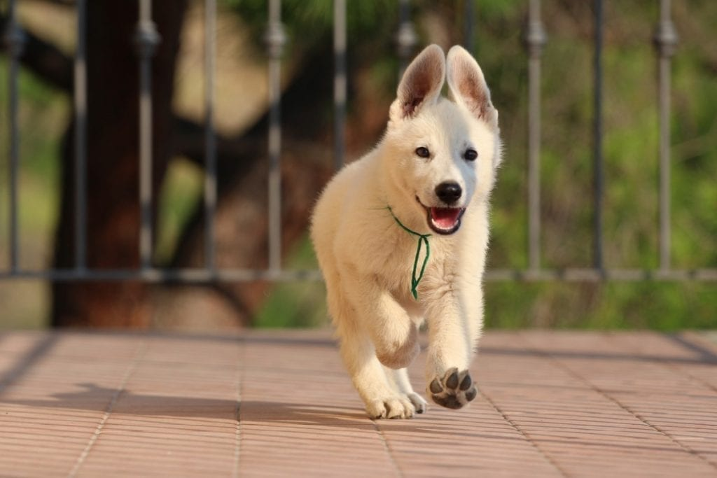 How to Buy a Dog from Another Country White Puppy Pet Import Regulations How to buy a puppy from abroad