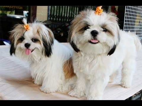 Who Says Caring for Shih Tzu Ribet? Check out this article!