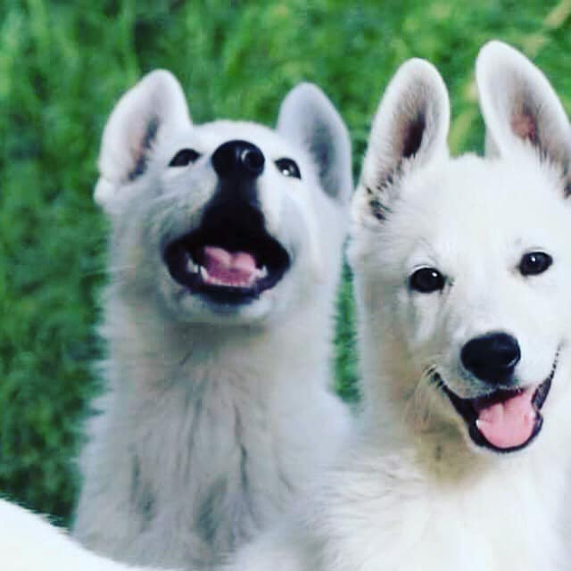 Best Place to Advertise Puppies for Sale for Reputable Breeder
