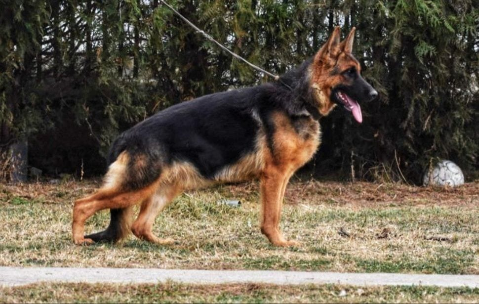 2 Year Old Proven Titled Female for Sale in Michigan