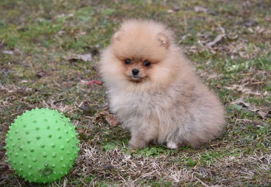 pomeranian BOO puppy for sale