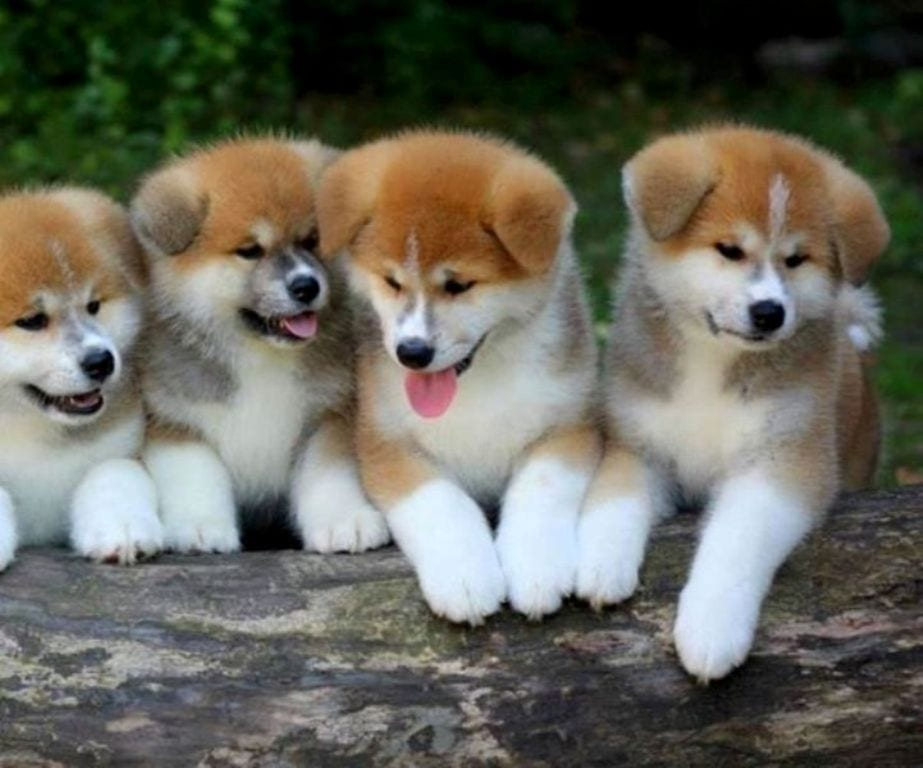Japanese Akita Inu Puppies for Sale