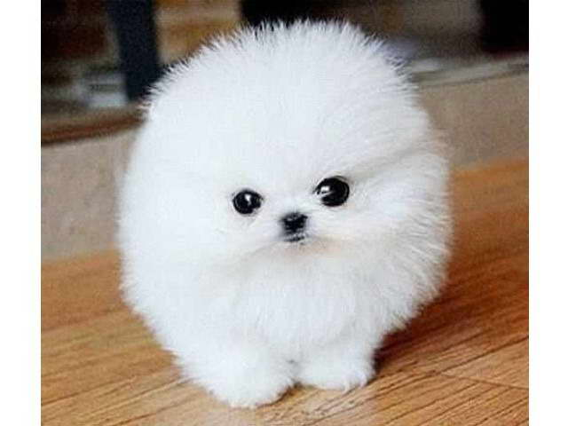 Pomeranian Puppies for Sale in Canada