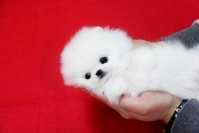 CKC Beautiful Pomeranian Puppies for Sale in Canada