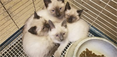Siamese Kittens for Sale in Illinois