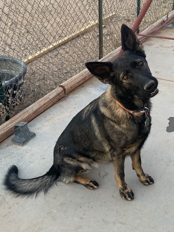 Amazing Service Dog for Sale 2 Year German Shepherd Female 2 year old female german shepherd for sale