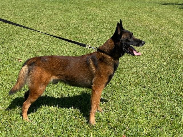 KNPV Belgian Malinois Puppies for Sale - AKC KNPV Malinois Breeders