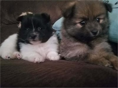 Pomeranian Puppies for Sale in Illinois