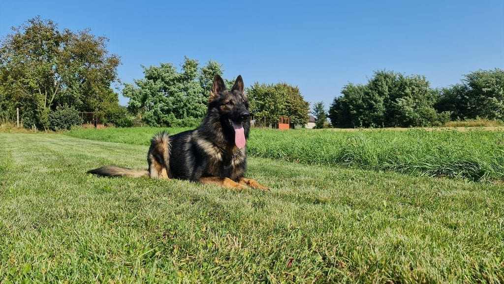 Fully Trained German Shepherd for Sale BH titled