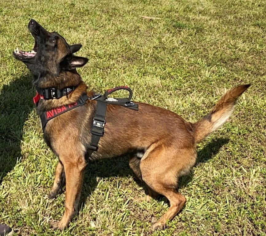 AKC Belgian Malinois Puppies For Sale KNPV Lines KNPV Malinois Breeders