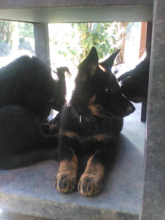 Working Line GSD Puppies for Sale in Montana