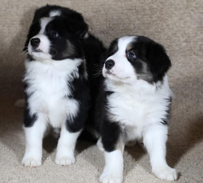 Border Collie Puppies for Sale with FCI Pedigree