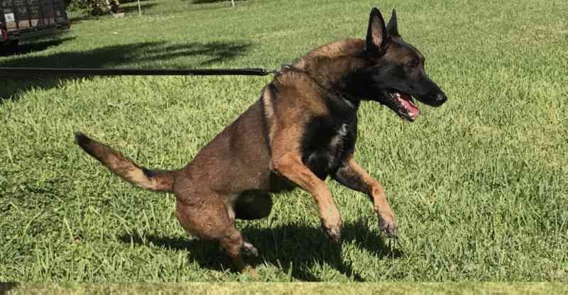 KNPV Belgian Malinois Puppies For Sale Florida