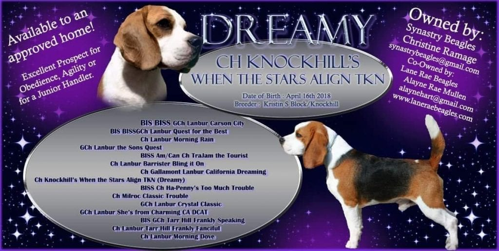 AKC Beagle Stud for Sale Proven. AKC CH Proven Beagle Stud Available for sale
