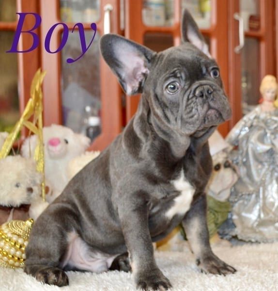 Blue French Bulldog Puppies for Sale FRENCHIE 2