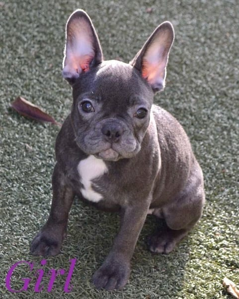 Blue French Bulldog Puppies for Sale FRENCHIE 3
