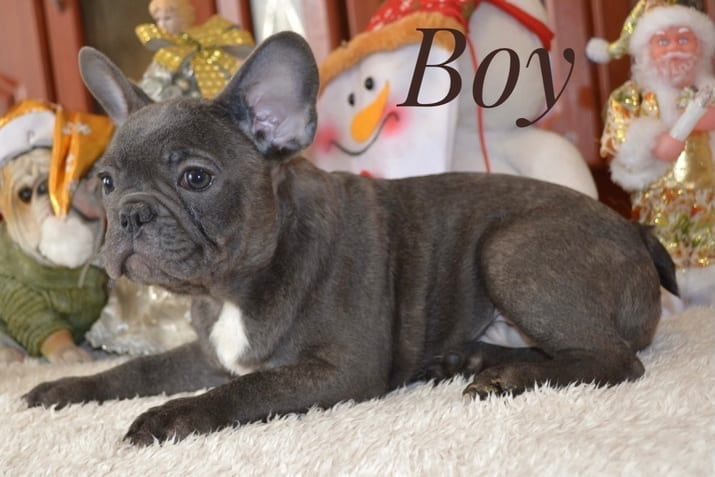 Blue French Bulldog Puppies for Sale FRENCHIE