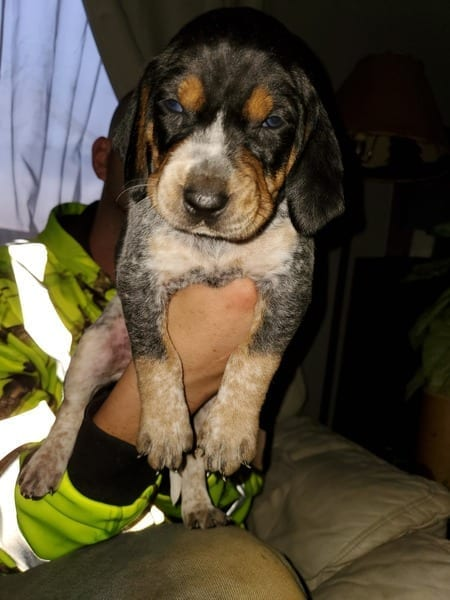 Bluetick Coonhound Puppies for Sale