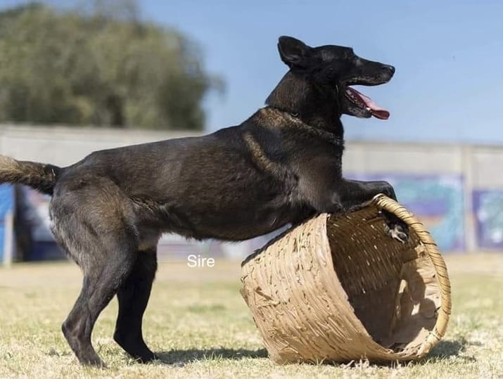 Dark Belgian Malinois Puppies for Sale Mexico Import