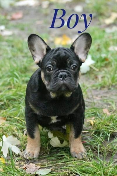 French Bulldog Puppies for Sale FRENCHIE 2