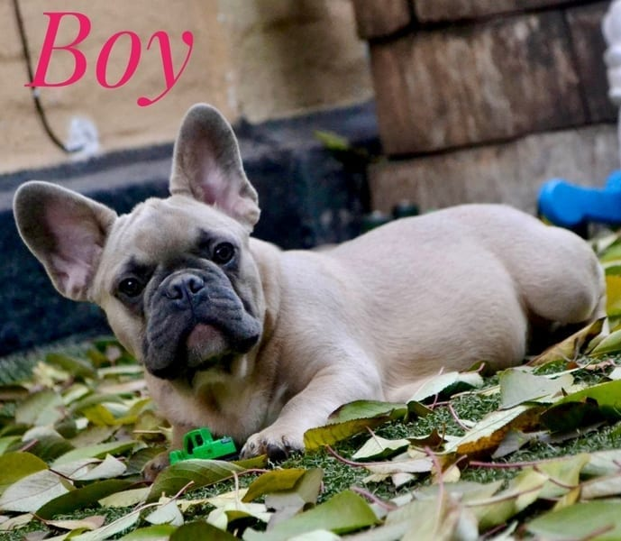 French Bulldog Puppies for Sale FRENCHIE 3