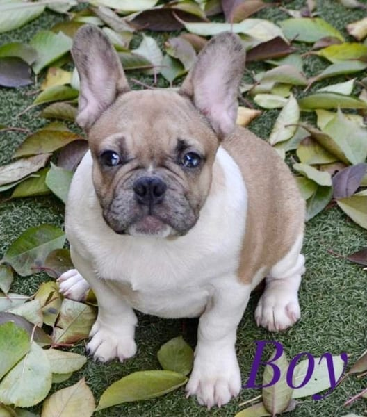 French Bulldog Puppies for Sale FRENCHIE 4