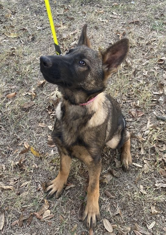 German Shepherd Puppy for Sale in Texas 4 month old female puppy