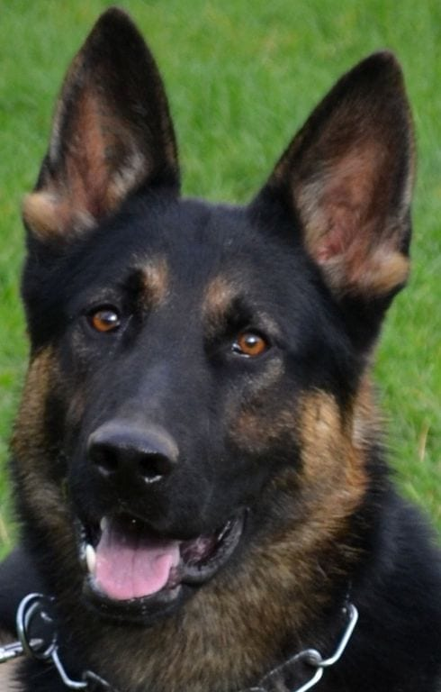German Shepherd for Police or Personal Protection
