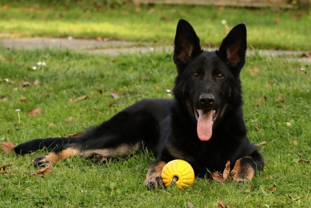 Personal Protection Dog - 8 month old German Shepherd