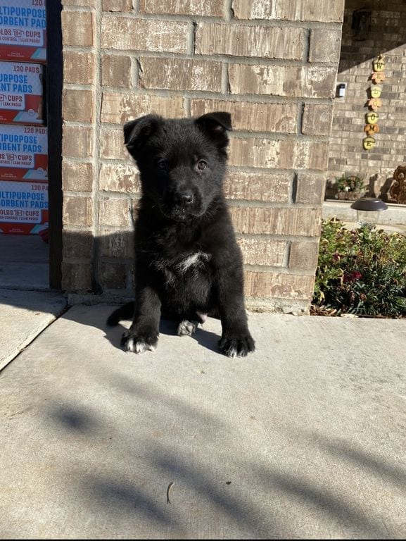 Quality VA1 Margman Yan Puppies for Sale - GSD Puppies