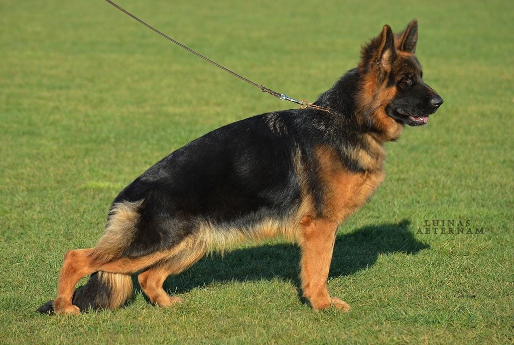 Young long hair German Shepherd female for sale 9 months old