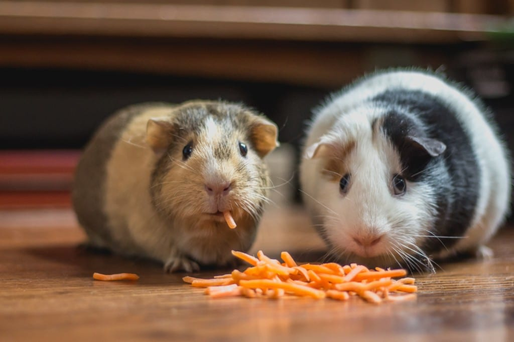What Guinea Pigs Can Not Eat