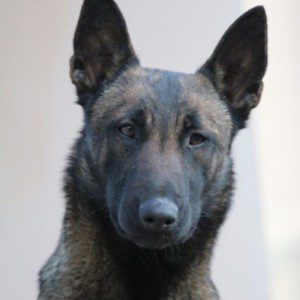 KNPV Belgian Malinois for Sale